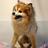 Pomeranian Dog for adoption in Sebastian, Florida - General