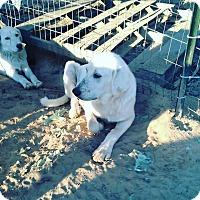 Adopt A Pet :: Topaz LGD - Kyle, TX