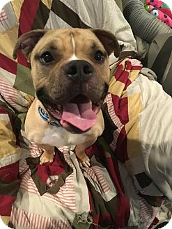Staffordshire Bull Terrier/English Bulldog Mix Dog for adoption in sylmar, California - Spud