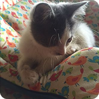 American Shorthair Kitten for adoption in Palisades Park, New Jersey - Leonard