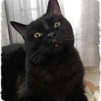 Adopt A Pet :: Velvet - Pueblo West, CO
