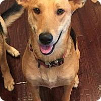 German Shepherd Dog/Great Pyrenees Mix Dog for adoption in Louisville, Kentucky - Stella