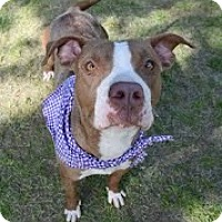 American Pit Bull Terrier/American Staffordshire Terrier Mix Dog for adoption in Darlington, South Carolina - Coletta