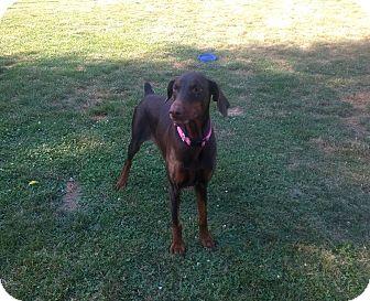 Doberman Pinscher Dog for adoption in Bath, Pennsylvania - Loka