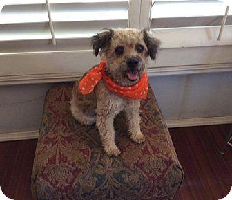 Poodle (Miniature)/Dandie Dinmont Terrier Mix Dog for adoption in La Jolla, California - Bisou
