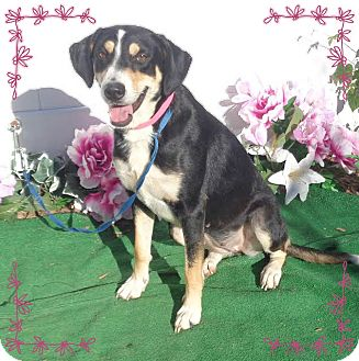 Hound (Unknown Type)/Labrador Retriever Mix Dog for adoption in Marietta, Georgia - STARR