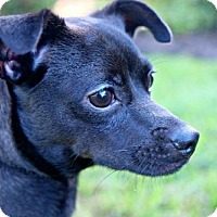 Italian Greyhound/Miniature Pinscher Mix Puppy for adoption in Des Moines, Iowa - Camila