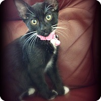 Domestic Shorthair Kitten for adoption in San Ysidro, California - Inky