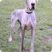 Great Dane Dog for adoption in Loxahatchee, Florida - Aspen