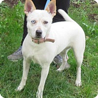 Australian Cattle Dog Mix Dog for adoption in Elkins, West Virginia - Lacey