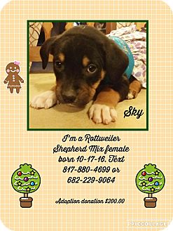 Rottweiler/German Shepherd Dog Mix Puppy for adoption in springtown, Texas - Sky