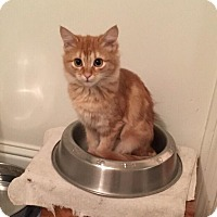Maine Coon Kitten for adoption in Parlier, California - Gingersnap