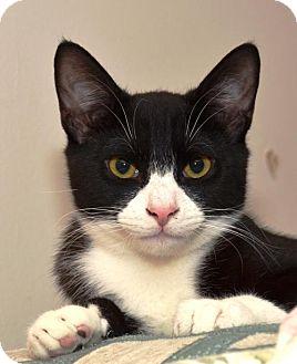 Domestic Shorthair Kitten for adoption in Brooklyn, New York - The Faithful Friends: Yvens, Caitlin, and Elsie