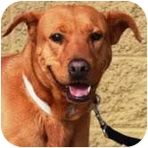 Labrador Retriever Mix Dog for adoption in Gilbert, Arizona - Brownie