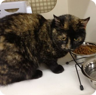 Domestic Shorthair Cat for adoption in Troy, Ohio - Ambrosia