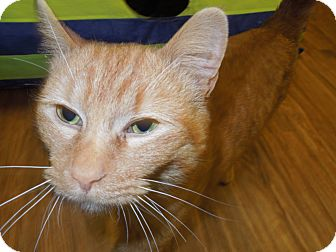 Domestic Shorthair Cat for adoption in Medina, Ohio - Joe