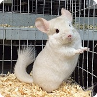 Adopt A Pet :: 4 mo goldbar female chinchilla - Hammond, IN