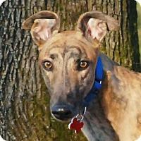 Adopt A Pet :: Torque - Ware, MA