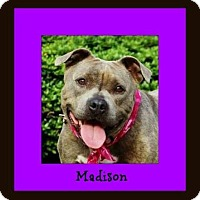 Pit Bull Terrier Mix Dog for adoption in Memphis, Tennessee - Madison
