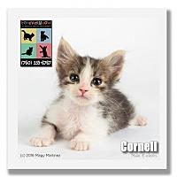 Domestic Shorthair Kitten for adoption in Palm Desert, California - Cornell