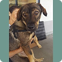 Shepherd (Unknown Type)/Basset Hound Mix Dog for adoption in San Juan Capistrano, California - Sophie