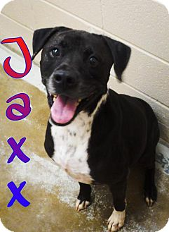 Labrador Retriever/Boxer Mix Dog for adoption in Crown Point, Indiana - Jaxx