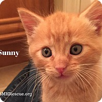 Domestic Shorthair Kitten for adoption in Temecula, California - Sunny