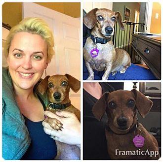 Dachshund Dog for adoption in Cary, North Carolina - Zebbie