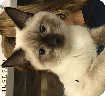 Siamese Cat for adoption in Hibbing, Minnesota - AM