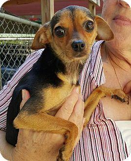 Chihuahua Mix Dog for adoption in Baileyton, Alabama - Ali (Allison)