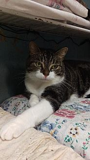 Domestic Shorthair Cat for adoption in Brainardsville, New York - Carson