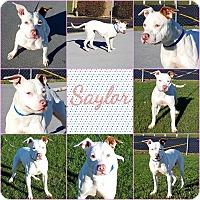 Adopt A Pet :: Saylor - Joliet, IL
