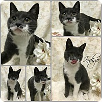 Domestic Shorthair Cat for adoption in Joliet, Illinois - Indigo