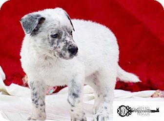 Collie Mix Puppy for adoption in DeForest, Wisconsin - Toby