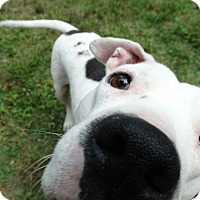 Pit Bull Terrier Mix Dog for adoption in Tomball, Texas - Peaches