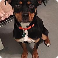 Adopt A Pet :: Sami - Clarkston, MI