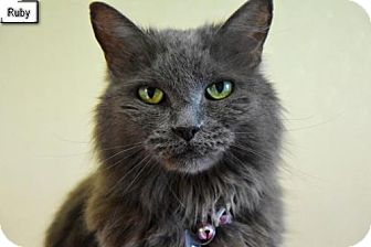 Domestic Mediumhair Cat for adoption in Lakewood, Colorado - Ruby