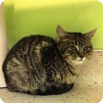 Domestic Shorthair Kitten for adoption in Janesville, Wisconsin - Joplin
