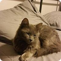 Adopt A Pet :: Chloe - Middlebury, CT
