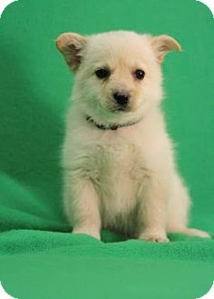 Pomeranian/American Eskimo Dog Mix Puppy for adoption in Broomfield, Colorado - Nilla
