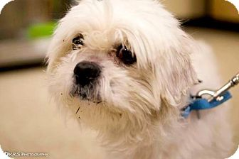 Lhasa Apso/Shih Tzu Mix Dog for adoption in Pittstown, New Jersey - Martin