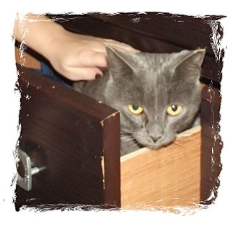Domestic Shorthair Cat for adoption in Olmsted Falls, Ohio - Dexter