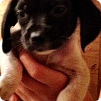Adopt A Pet :: Pee Wee - Chicago, IL
