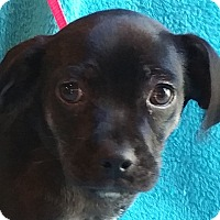 Adopt A Pet :: Yosie - Spring Valley, NY