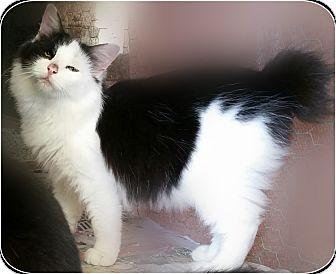 Manx Cat Adoption Florida
