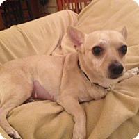 Adopt A Pet :: Foxy - Lomita, CA