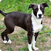 Adopt A Pet :: PUPPY COOKIE - Salem, NH