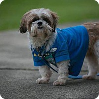 Shih Tzu Dog for adoption in Pataskala, Ohio - Scooby