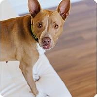 Adopt A Pet :: Charlee D151056 - Edina, MN