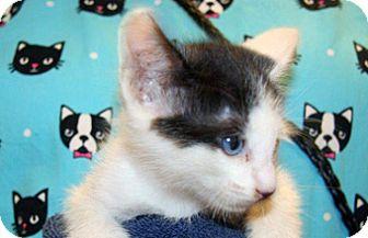 Domestic Shorthair Kitten for adoption in Wildomar, California - Hershel